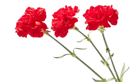 carnation:  Red carnations