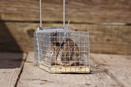 entrapment: The mouse sits in a mousetrap. Traps for pests.