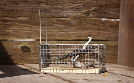 mousetrap: The mouse sits in a mousetrap. Traps for pests.