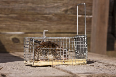 dead rat: The mouse sits in a mousetrap. Traps for pests.
