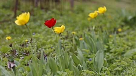 Spring, spring flowers bloomed, a red tulip among the yellow.