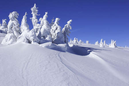 serbia xmas:  snow covered pine trees with snow drift