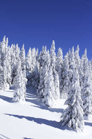 serbia xmas: snow covered pine trees against blue sky
