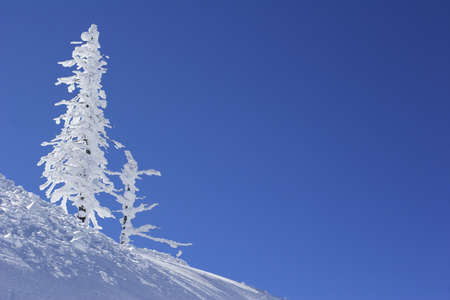 ice covered pine tree Stock Photo - 272810