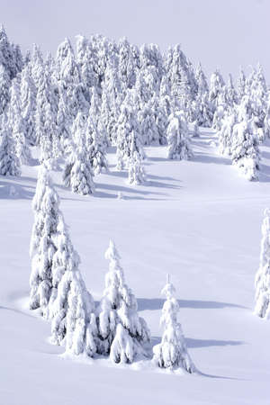 snow covered pine trees in mountains