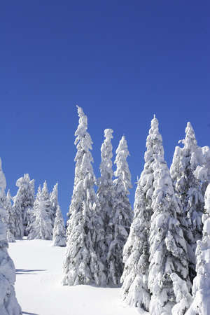 serbia xmas: snow covered pine trees and blue sky Stock Photo