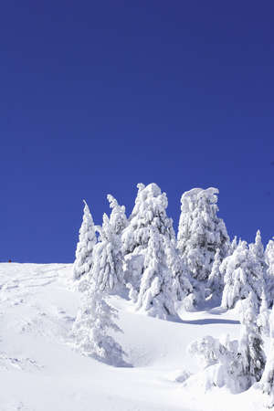 serbia xmas: snow covered pine trees with blue sky