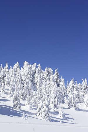 unspoiled: Pinos cubiertos de nieve y cielo azul