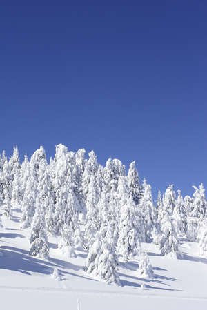 intact: snow covered pine trees and blue sky Stock Photo