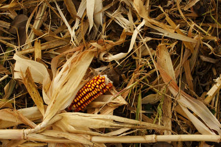 maize used for winter animal feed photo