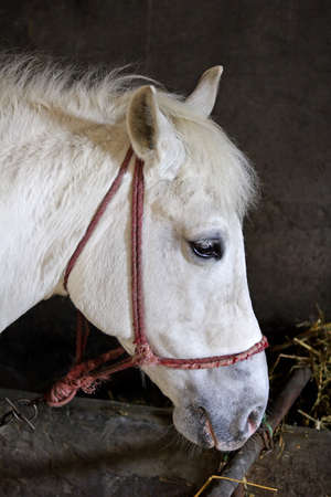 bridle: white lipizzaner horse with bridle in stable