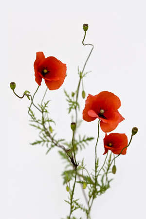 graves:  isoalated bouquet of red poppies on white background