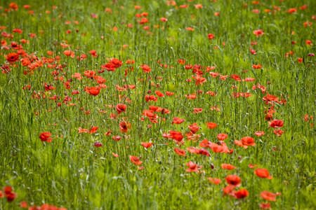 red poppies growing in field early summer France photo