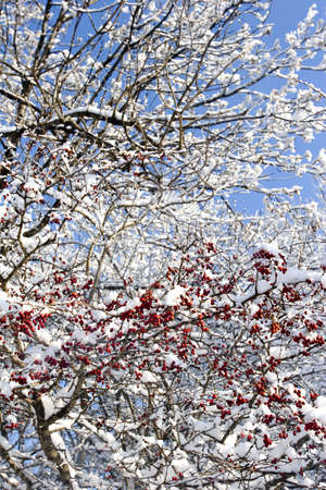 serbia xmas: red berries and snow winter scene