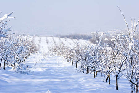 serbia landscape: fruit orchard in winter covered in snow