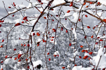 red berries and snow winter scene