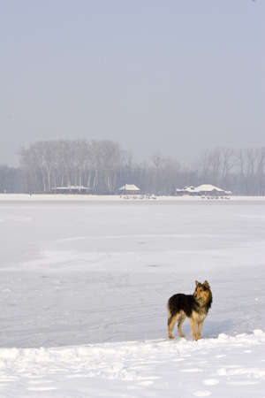 serbia landscape: lone dog standing on frozen lake Stock Photo