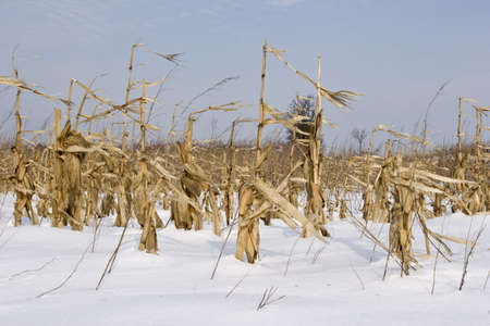 a field maze and corn in winter photo