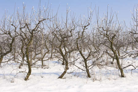 view of an apple orchard covered in snow photo