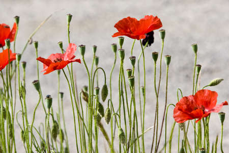 wild red poppies in bloom photo