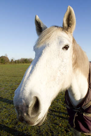white horse looking at the camera on a cold frosty morning Stock Photo - 8901104