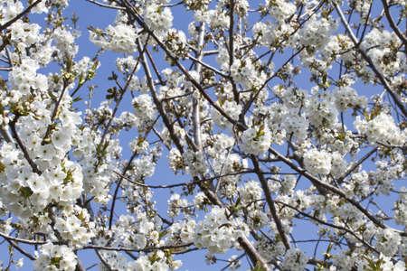 apple blossom  Standard-Bild