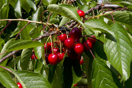 ripe organic cherries on tree ready for harvesting Standard-Bild