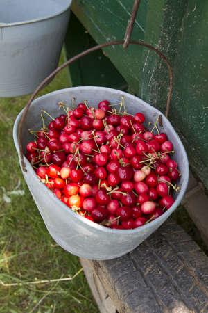 hand picked grade 1 organic cherries Stock Photo - 9699242