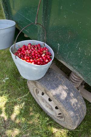 hand picked grade 1 organic cherries