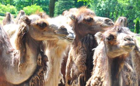camels camel