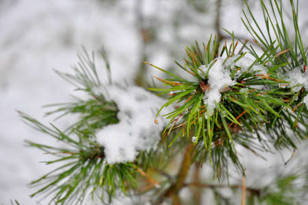 Coniferous tree twig with snow Stock Photo