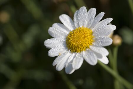 receptive: Daisy with drops in morning sunlight