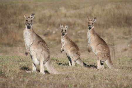 Kangaroo family photo
