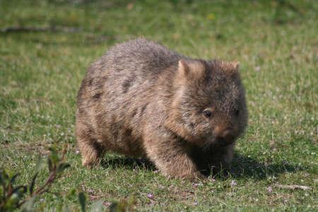 wombat: Australia Wombat