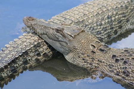 Sleeping and waiting crocodile photo
