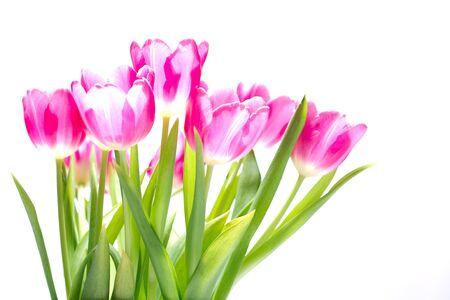 pflanze: Tulpenstrau� vor wei�em Hintergrund, �berbelichtet