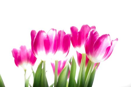 tulipa: A berbelichtete tulips against white background