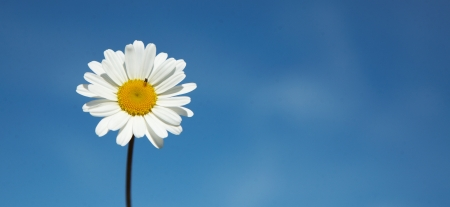 Daisy  Leucanthemum vulgare  a summer flower isolated  on blue sky, with a litle insect  Stock Photo