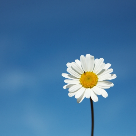 litle: Daisy  Leucanthemum vulgare  a summer flower isolated  on blue sky, with a litle insect  Stock Photo