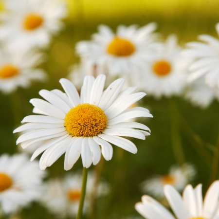 vulgare: Some flowering daisies in a meadow   leucanthemum vulgare