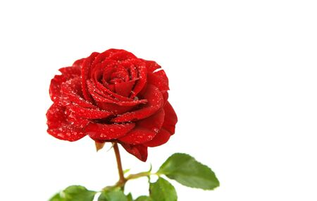 blomming: A red rose with water drops isolated on a white background