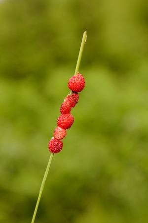 Wild Strawberries (Fragaria vesca) strung on a piece of grass against green background.