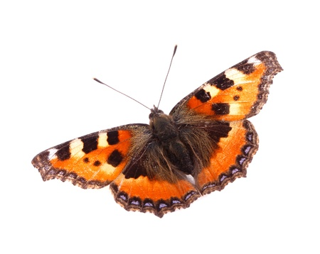 A Small Tortoiseshell  butterfly  Aglais urticae  isolated on white background
