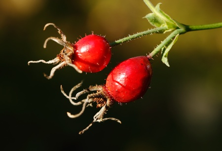 Two ripe red rose hips on a branch