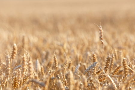 matures: Ripening wheat in a field  Stock Photo