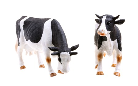 Grazing cows isolated on white background