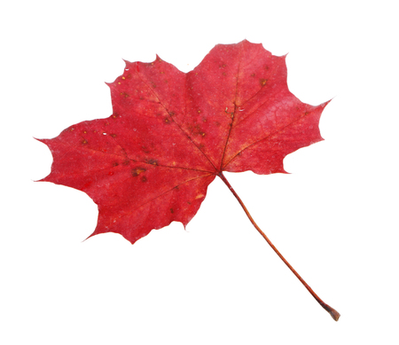 acer platanoides: One red fallen Maple  Acer platanoides  leaf isolated on white backgrund  Stock Photo