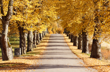 The trees form an avenue along the narrow road in autumn colors.
