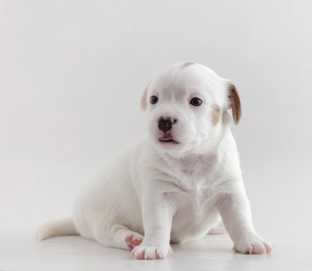 white dog: Female Jack Russell terriet puppy 23 days of age.