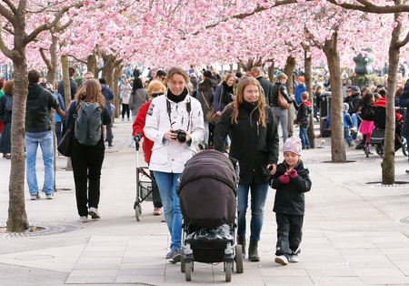 Japanise cherry tree blossoms in Kungstradgarden with people, Stockholm, Swdden, Stock Photo
